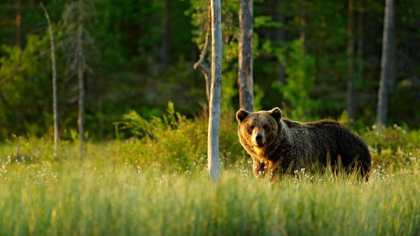USA. Niedźwiedź wszedł do sklepu i chodził między półkami. Do sieci trafiło zaskakujące wideo