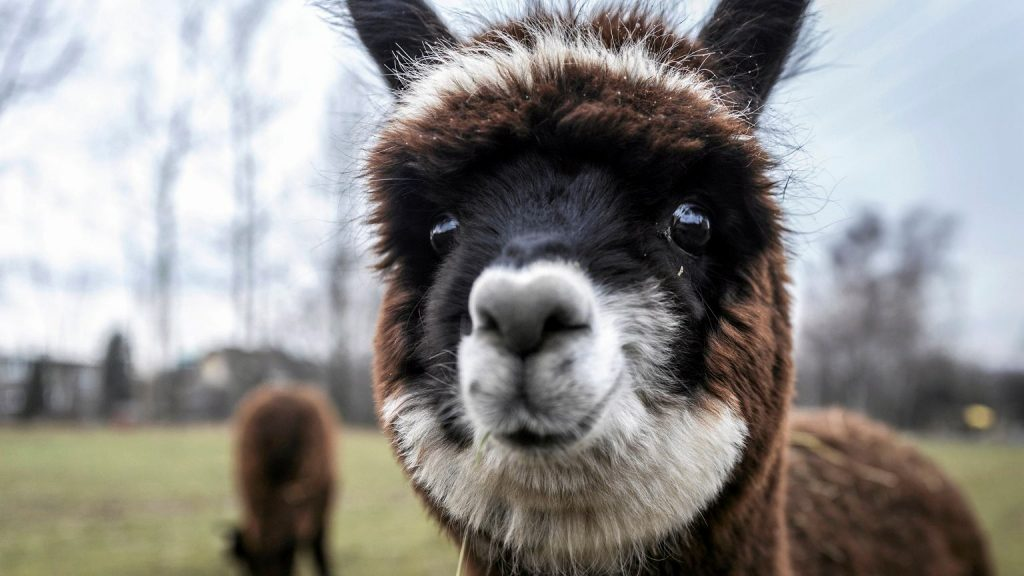 Great Britain.  The three-year struggle for the alpaca ended in fiasco.  Drunk Geronimo |  News from the world