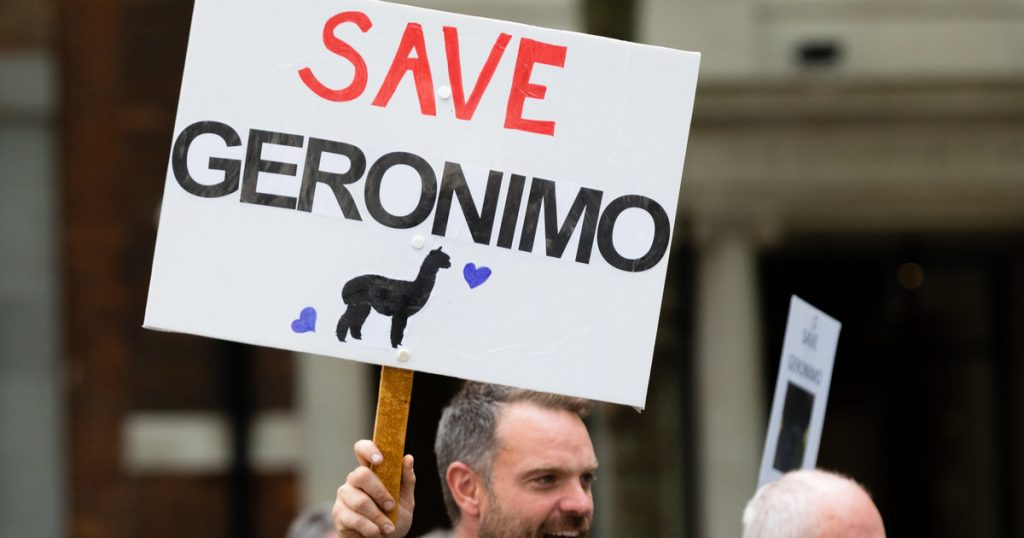 Great Britain: a protest and a petition in defense of the Jeronimo alpaca