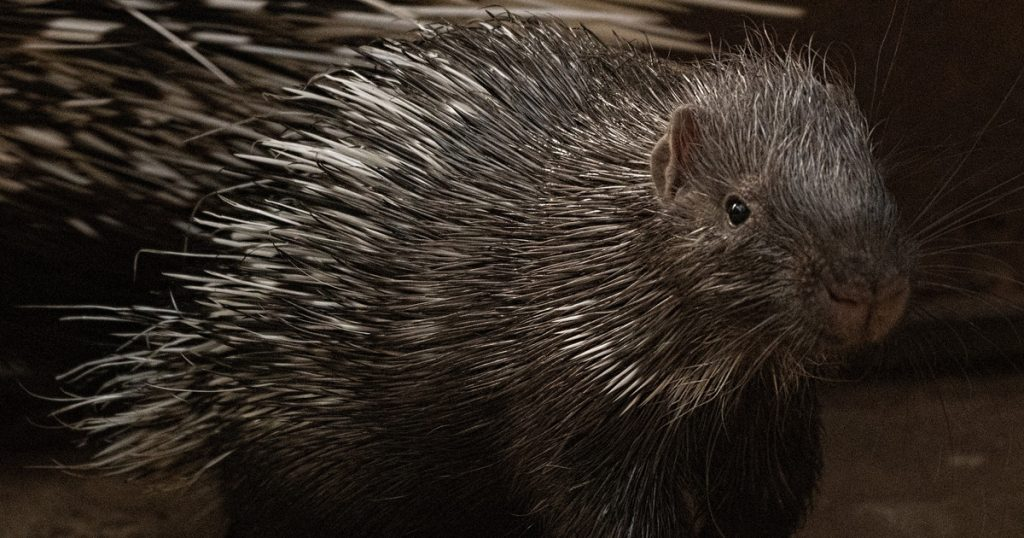 Attempts to catch a porcupine ended with an animal attack