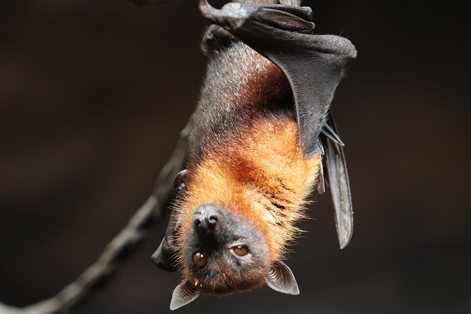 Bat researchers collect data on the origins of the Corona virus