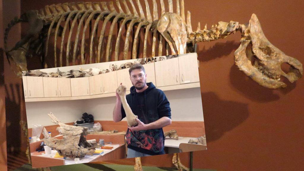 Stefania will stand on her own two feet.  Scientists reconstruct the skeleton of a rhinoceros that lived in Poland