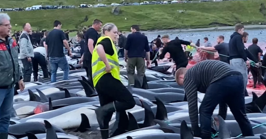 The largest massacre in the history of the Faroe Islands.  The population killed 1.5 thousand.  dolphins