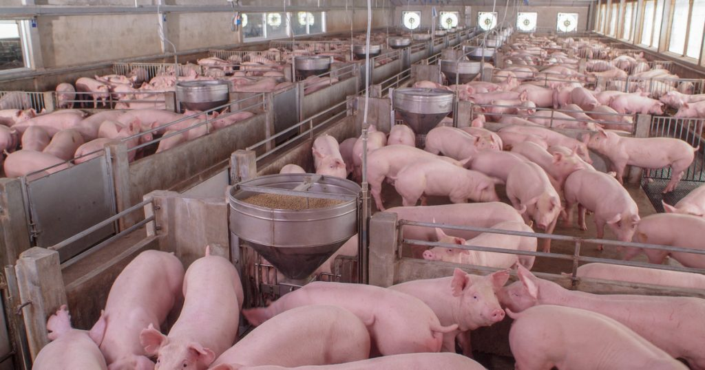 Great Britain.  Due to the lack of butchers, breeders started killing healthy pigs